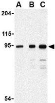 PAB11283 - CD289 / TLR9