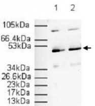 PAB11321 - PPAR-alpha