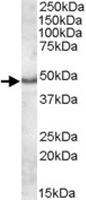 PAB11436 - Apolipoprotein L5 / ApoL5