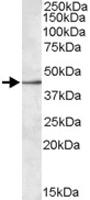 PAB11442 - CD329 / SIGLEC8