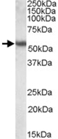 PAB11444 - Cytokeratin 13