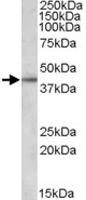 PAB11448 - Apolipoprotein L3 / ApoL3