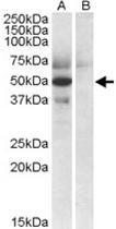 PAB11493 - Apolipoprotein L4 / ApoL4