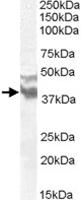 PAB11520 - DYX1C1