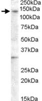 PAB11536 - GPR125