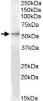 PAB11538 - GPR142 / PGR2