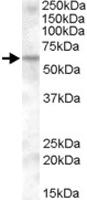 PAB11545 - KPNA6 / Importin alpha-7
