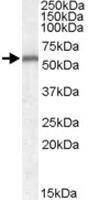 PAB11560 - Neurotrophin 4 / NTF4