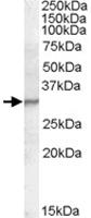 PAB11571 - PGLYRP1 / PGRPS