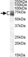 PAB11615 - ARNTL / BMAL1