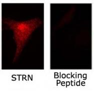 PAB12016 - Striatin / STRN