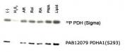 PAB12079 - PDHA1