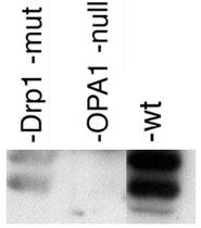 PAB12083 - OPA1