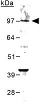 PAB12109 - mGluR6 / GRM6