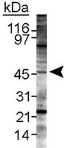 PAB12131 - LYVE-1