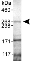 PAB12132 - PARK8 / LRRK2