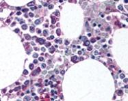 PAB12136 - CD11b