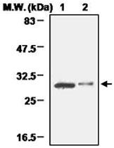 PAB1214 - 14-3-3 protein beta/alpha