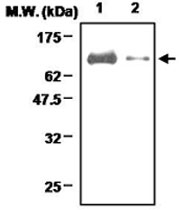PAB1223 - Lactotransferrin