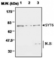 PAB1224 - Synaptotagmin-6