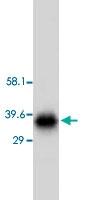 PAB12309 - Aquaporin-4 / AQP4