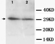 PAB12317 - Aquaporin-5
