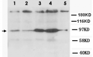 PAB12323 - CD184 / CXCR4