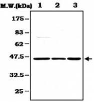 PAB1236 - MAPK3 / ERK1