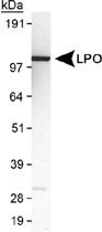 PAB12397 - Lactoperoxidase