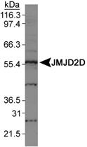 PAB12409 - JMJD2D / KDM4D
