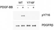 PAB1241 - CD140b / PDGFRB