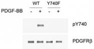 PAB1242 - CD140b / PDGFRB
