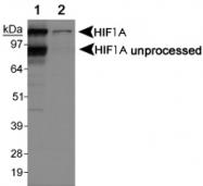 PAB12420 - HIF1A / HIF1 alpha