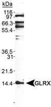PAB12423 - Glutaredoxin-1 / GLRX1
