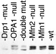 PAB12446 - Dynamin-1-like protein