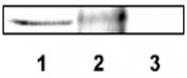 PAB12448 - DLX4 / BP1
