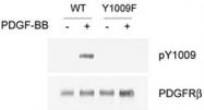 PAB1245 - CD140b / PDGFRB