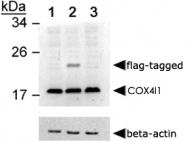 PAB12455 - COX IV isoform 1