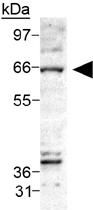 PAB12459 - Ceramide Kinase