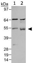 PAB12474 - Beclin-1