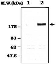PAB1248 - EGFR / ERBB1