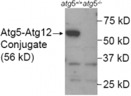 PAB12482 - APG5L / ATG5