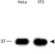 PAB12487 - APEX1 / REF-1