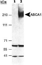 PAB12504 - ABCA1