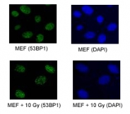 PAB12506 - TP53BP1