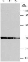 PAB12510 - Actin gamma / ACTG