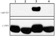 PAB12522 - CREB1