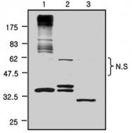 PAB1253 - GFP