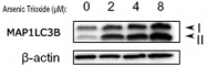 PAB12534 - LC3B