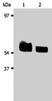PAB1255 - AKT1 / PKB